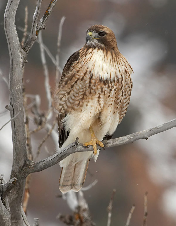 Red Tailed Hawk 红尾鹰。( Ontario Nature提供)