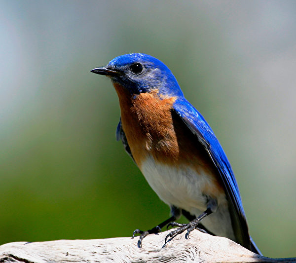 Estern Bluebird 蓝知更鸟。(Ontario Nature提供)