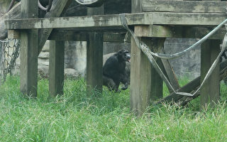 北市动物园黑猩猩跑出展区  议员:太离谱