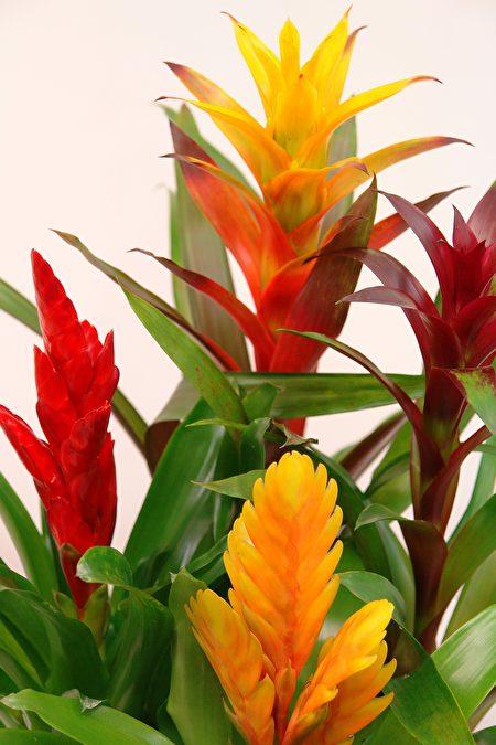 凤梨科植物。(Pixabay)
