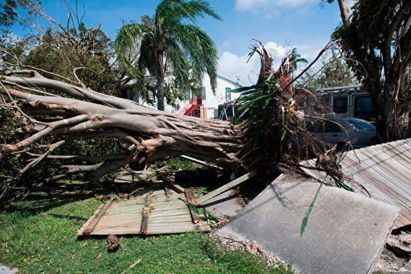 9月11日,佛羅里達州Homestead被Irma颶風連根拔起的樹。 (SAUL LOEB/AFP/Getty Images)