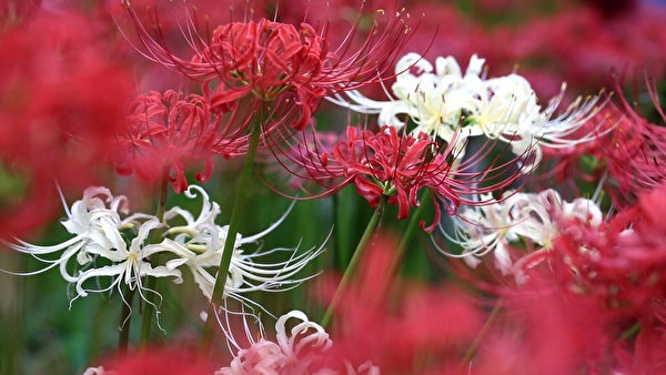 日本埼玉縣日高市內的「巾著田」,擁有500万株曼珠沙華,堪稱日本最大級別的曼珠沙華群生地。(葉妙音/大紀元)