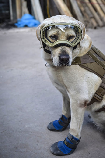 墨西哥地震救灾,搜救犬弗瑞达取得骄人成绩。(OMAR TORRES/AFP/Getty Images)