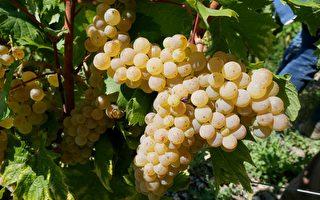 葡萄成熟了 走访法国萨瓦葡萄产区