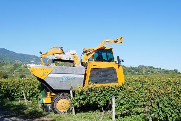 机器采摘葡萄。(龚简/大纪元)