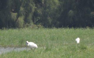 秋风起黑琵报到 鳌鼓湿地赏鸟交管