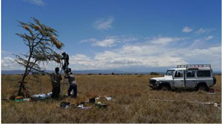 沈圣峰与团队在肯亚 Mpala 保护区,实际观测灰头织巢鸟的合作繁殖行为。(图片来源/沈圣峰提供)