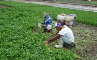 泰利台风来袭,农民急忙抢收天里的菜叶,避免泡水损失。 (高雄农改场提供)