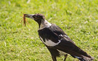 澳洲喜鵲「泡著吃」進食習慣 挑戰進化學說