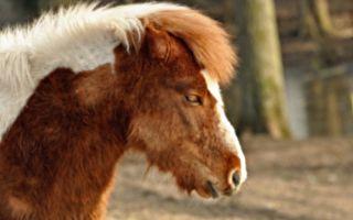 获救小马不能走 只因马蹄上的指甲竟疯长10年