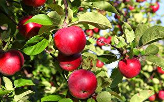 秋天到了,全家去多倫多周邊農場蘋果,體驗豐收的喜悅。(Shutterstock)