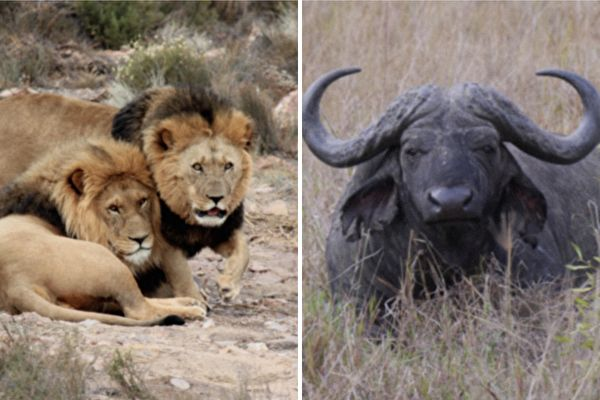落單水牛遇到一群獅子 結局你一定想不到