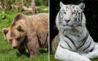 霸氣奶奶的萌寵世界:兩頭灰熊一隻老虎