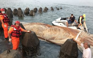 鯨魚遺骸已綑綁完成,準備用水上摩托拉出消波塊區,右邊是王建平教授,左邊是海巡弟兄 。(新竹市府提供)