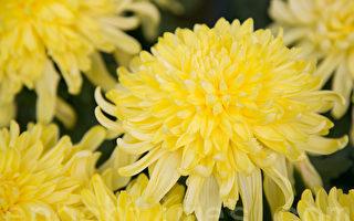 五绝:重阳节赏菊