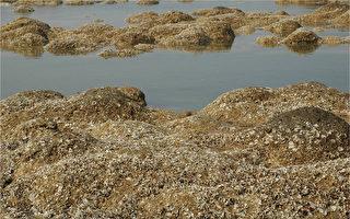 數千年歲月堆積 台灣桃園有世界級藻礁