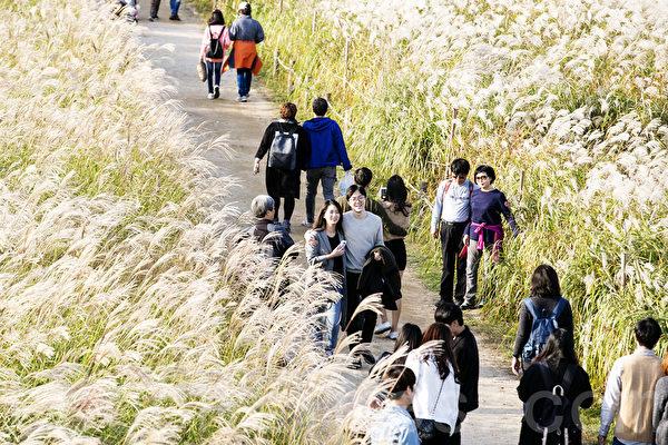 山中芒草形成一片銀色的海洋,秋季散步消閒的好去處。(全景林/大紀元)