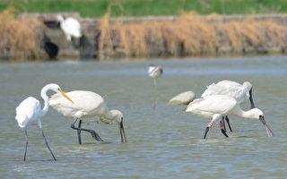 賞鳥熱季 台南黑面琵鷺、黑腹燕鷗都來報到
