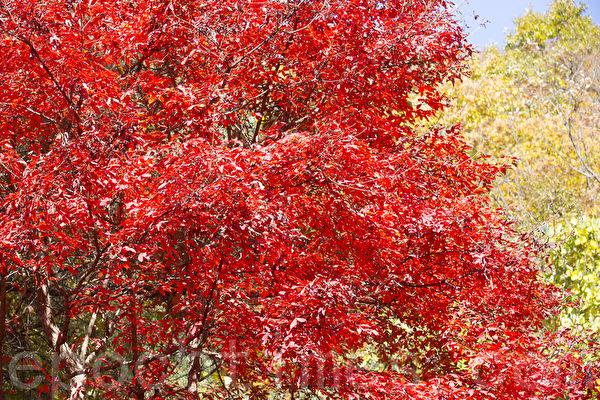 10月30日韩国京畿道坡州绀岳山枫景。(全景林/大纪元)