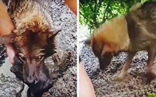 狗媽媽為救被水淹沒的寶寶 奮力搶救感動千萬網友