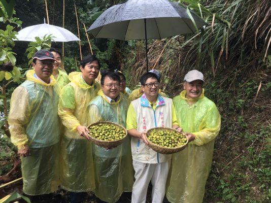 冒雨採收的橄欖果實。(新竹縣政府提供)