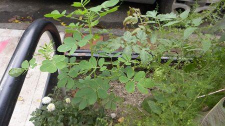 徐老伯种的山草药。