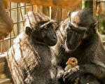 小雞撞進獼猴舍 與孤獨母猴立即組成母子檔