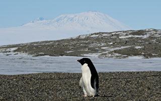 南極阿德利企鵝浩劫 一群族幼雛餓死只剩兩隻