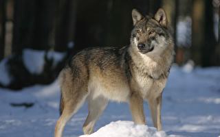 母狼——一個讓人一生受用不盡的故事
