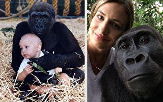 和大猩猩玩耍的女婴长大了 23年后他们重逢于遥远丛林