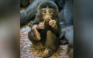 主人不带它兜风 小猩猩哭求的表现可爱到爆