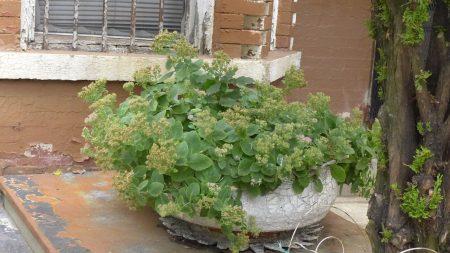 徐老伯把铁苋菜当景观植物种,又是腹泻良药,煎汤喝可用来治拉肚子。