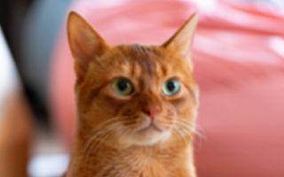 猫咪乖乖做检查 听到自己怀宝宝时 反应萌翻网友