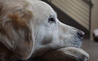 """临终""""治疗犬""""遇到临终奶奶 它的举动让所有人落泪"""