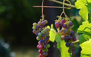 培养实用人才 维州中学设葡萄种植课