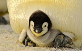 影片:企鹅宝宝猛钻爸爸胯下避寒 可爱模样融化众人