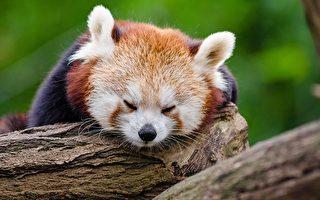 小熊貓像貓一樣可愛 卻是瀕危物種