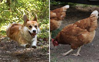 爆笑!柯基斗母鸡 最后险被围攻落荒而逃