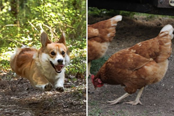 爆笑!柯基鬥母雞 最後險被圍攻落荒而逃