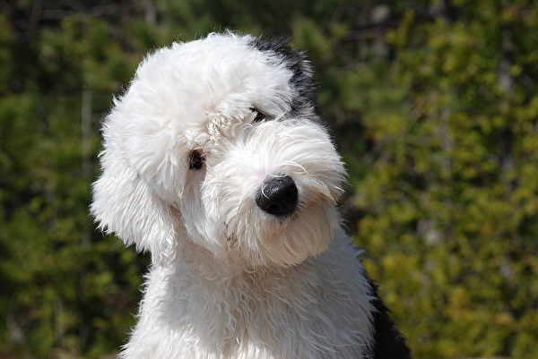 露出眼睛的古代牧羊犬看起来更精灵可爱。(维基百科公共领域)