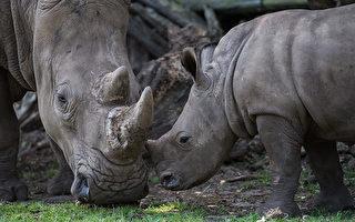 2台男偷獵4隻犀牛 史瓦濟蘭法院重判
