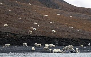 海冰融化沒處去 200頭北極熊群聚俄島嶼