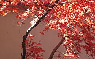冬陽小雪春回 紅葉情