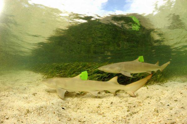 柠檬鲨可加工鱼肉、鱼翅及鱼肝油等产品,渔业捕捞下导致数量快速下降,世界自然保育联盟已订为易受威胁物种 。(海管处提供)