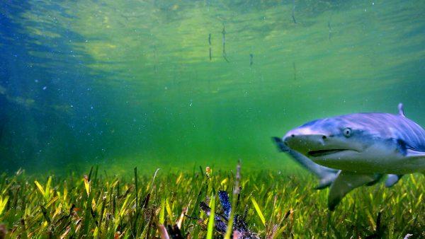 东沙岛沿海,是尖齿柠檬鲨繁殖成长区,过去栖地受到非法捕鱼破坏,2007年成立国家公园后,生态逐渐恢复。(海管处提供)