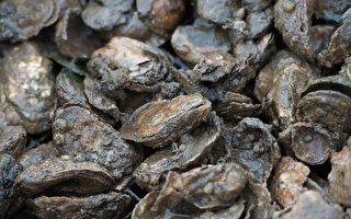 維州「牡蠣月」 產量全美第一