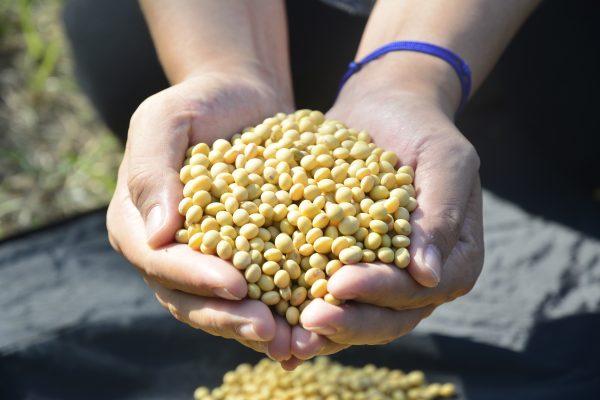 選購黃豆時要注意產地與構成,最好選用台灣本土生產的非基改黃豆。 (賴瑞)