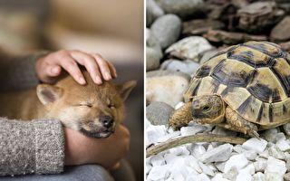 和烏龜一起長大的柴犬 早已忘記自己是狗狗