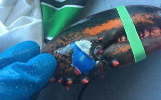加拿大龍蝦「紋身」百事可樂商標