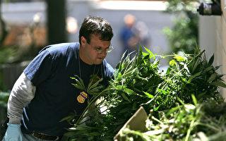 加州大麻下週合法 聯邦警站仍搜查